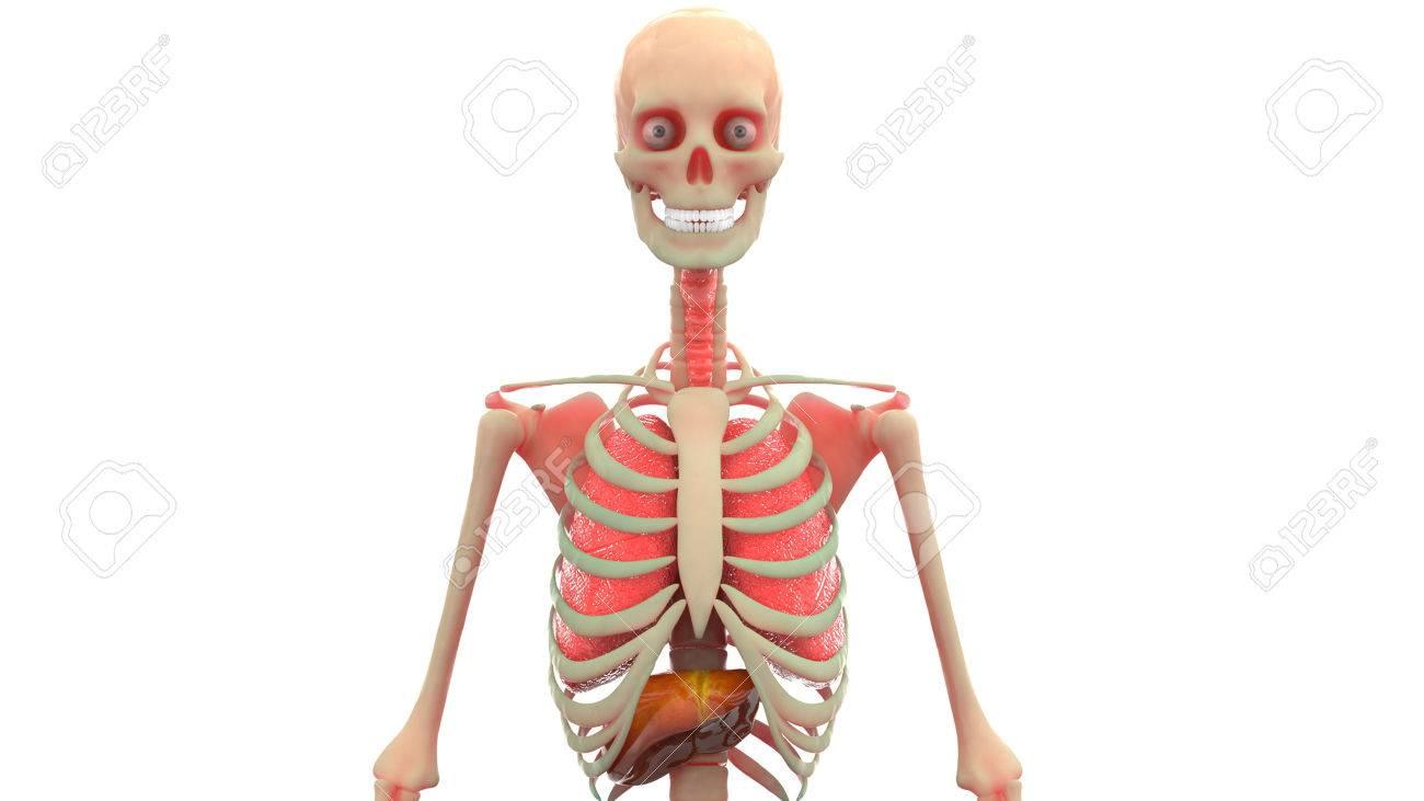 Rganos Del Cuerpo Humano Anatomía (pulmones, El Hígado) Fotos ...