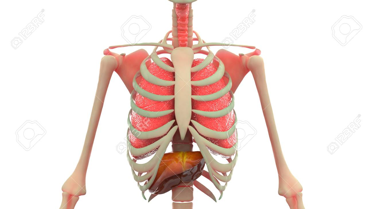 Human Body Organs Anatomy Lungs Liver Stock Photo Picture And