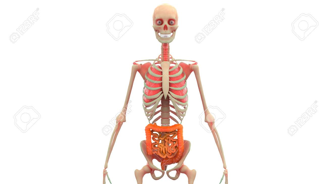 Anatomía De Los órganos Del Cuerpo Humano (pulmones, Intestino ...
