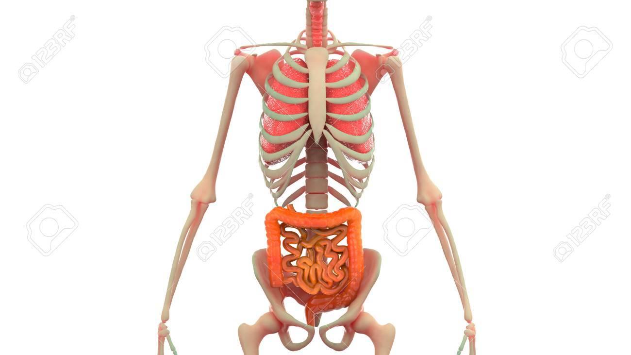 Menschliche Körperorgane Anatomie (Lunge, Großer Und Dünndarm ...