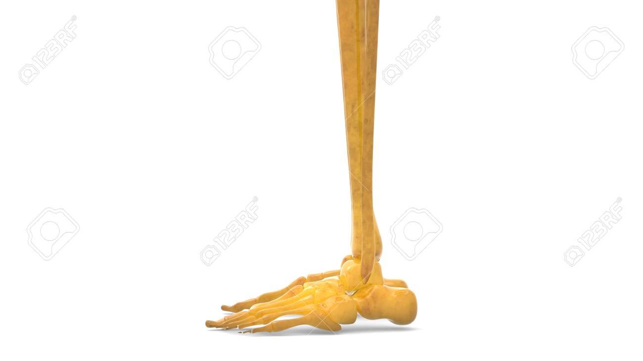 Menschlicher Körper Knochen Gelenkschmerzen Anatomie (Fuß- Und ...