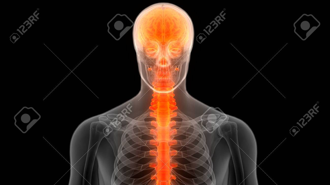 Brain With Spinal Cord A Part Of Human Skeleton Anatomy Stock Photo ...