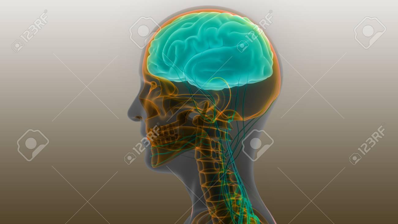 Human Brain With Nervous System Anatomy Stock Photo, Picture And ...