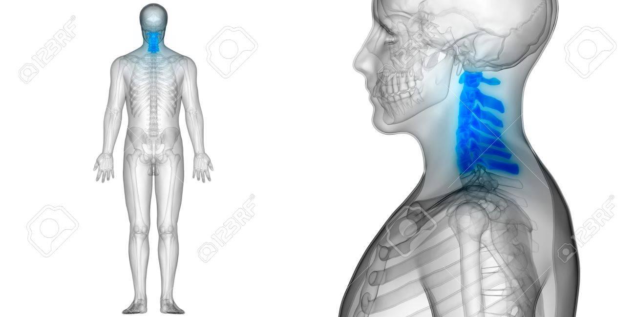 Spinal Cord Cervical Vertebrae A Part Of Human Skeleton Anatomy