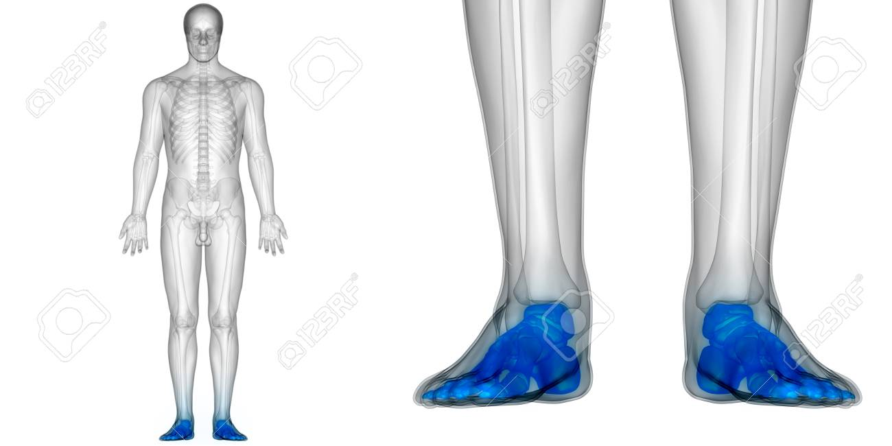 Human Body Bone Joint Pains Anatomy Foot Joints Stock Photo