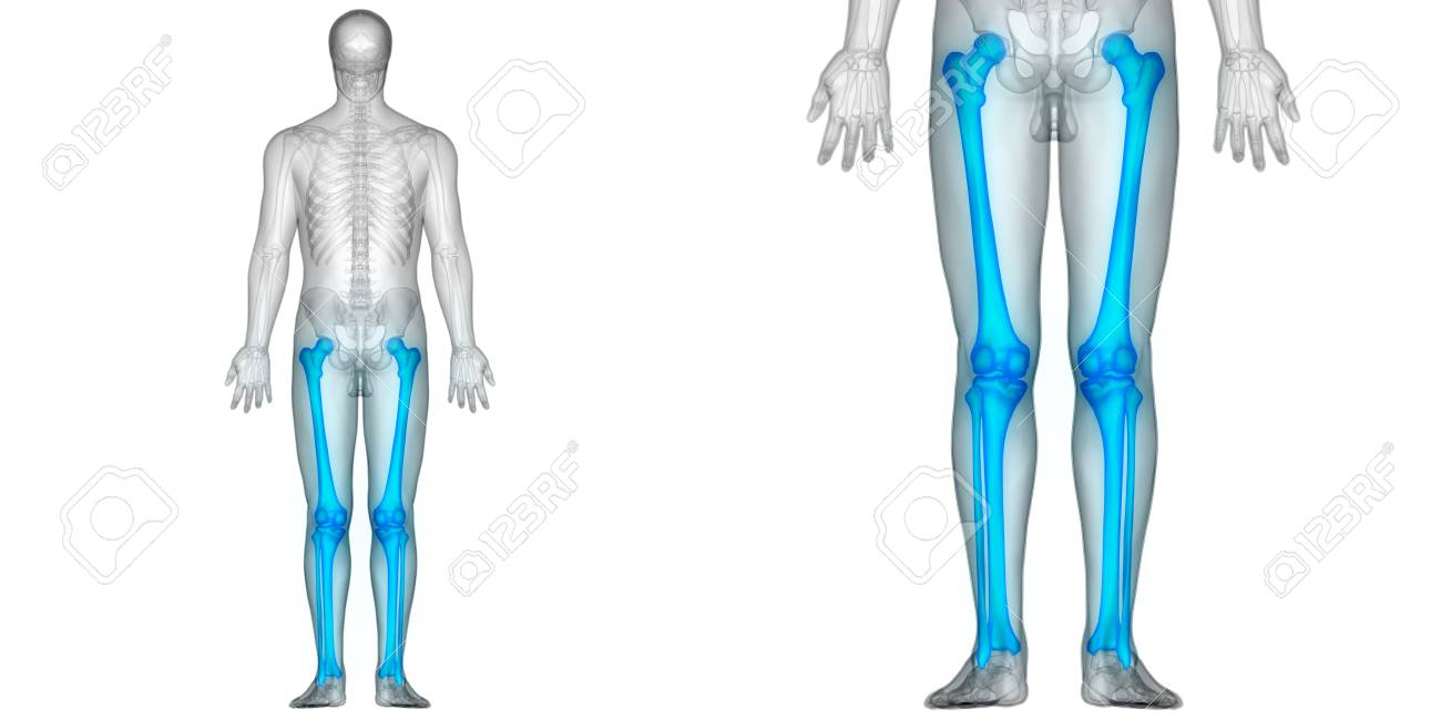 Human Body Bone Joint Pains Anatomy (Femur With Tibia And Fibula ...