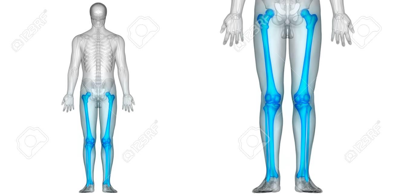 Menschlicher Körper Knochen Gelenkschmerzen Anatomie (Femur Mit ...