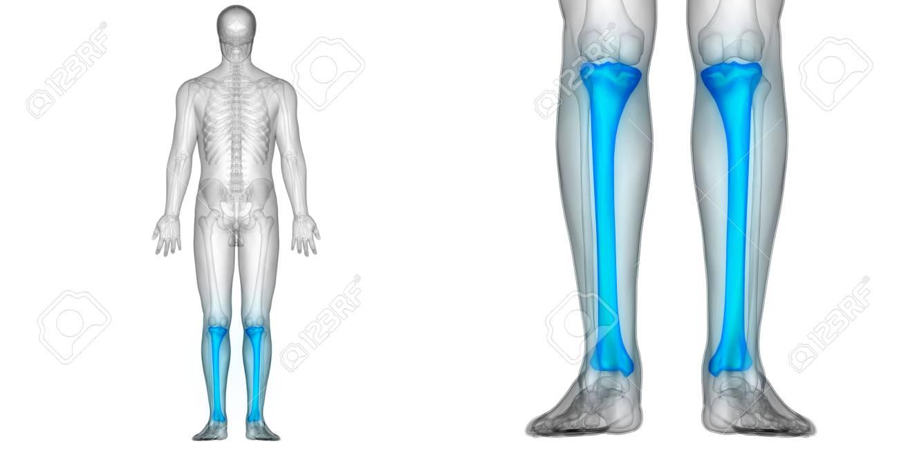Menschliche Körper Knochen Gelenkschmerzen Anatomie (Tibia ...