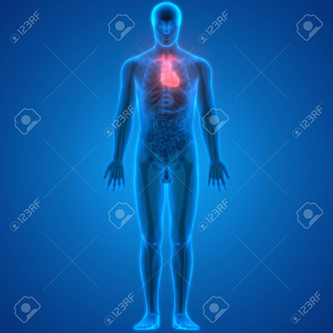 Ungewöhnlich Herz Lage Ideen - Anatomie Von Menschlichen ...
