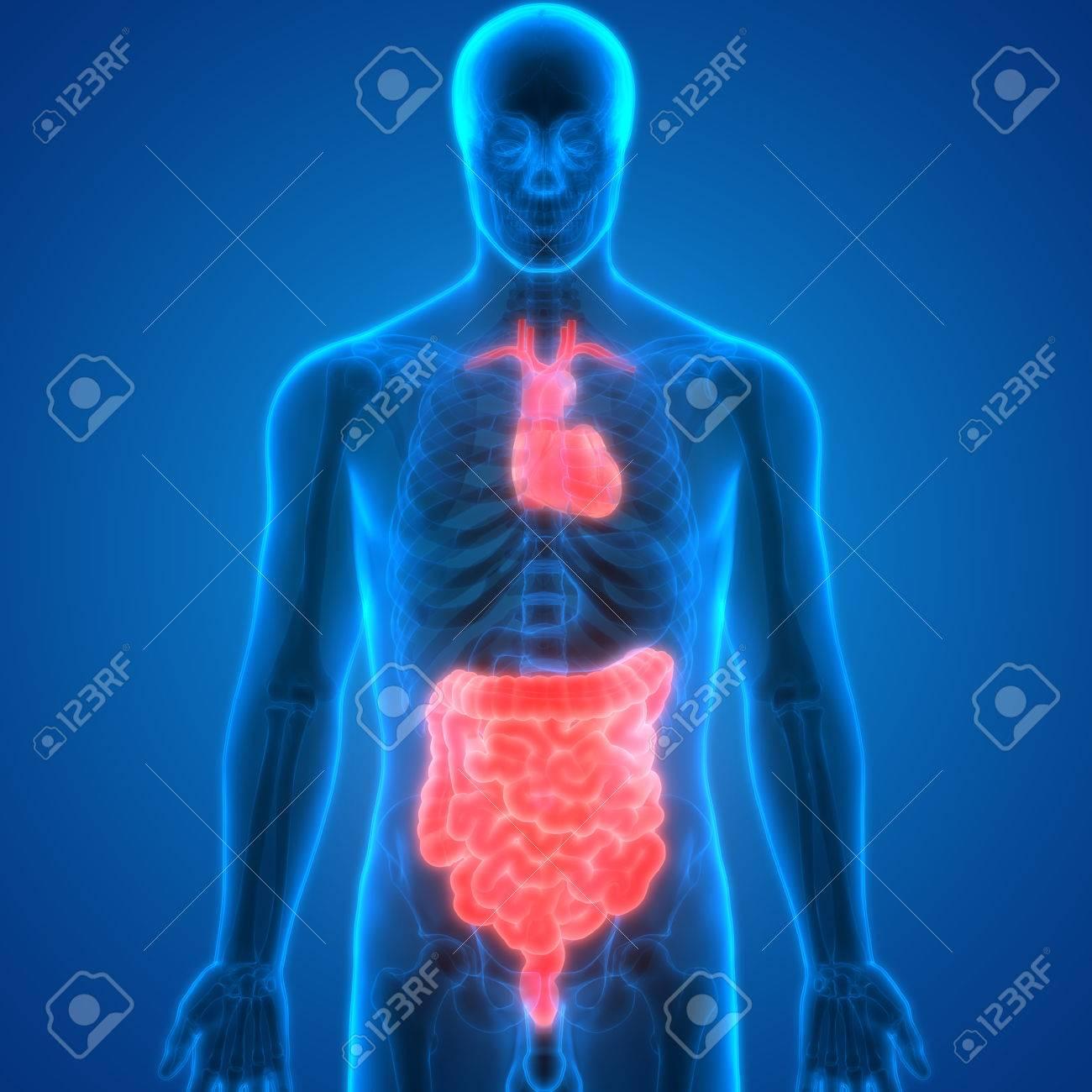 Human Body Organs Anatomy (Heart With Intestine) Stock Photo ...
