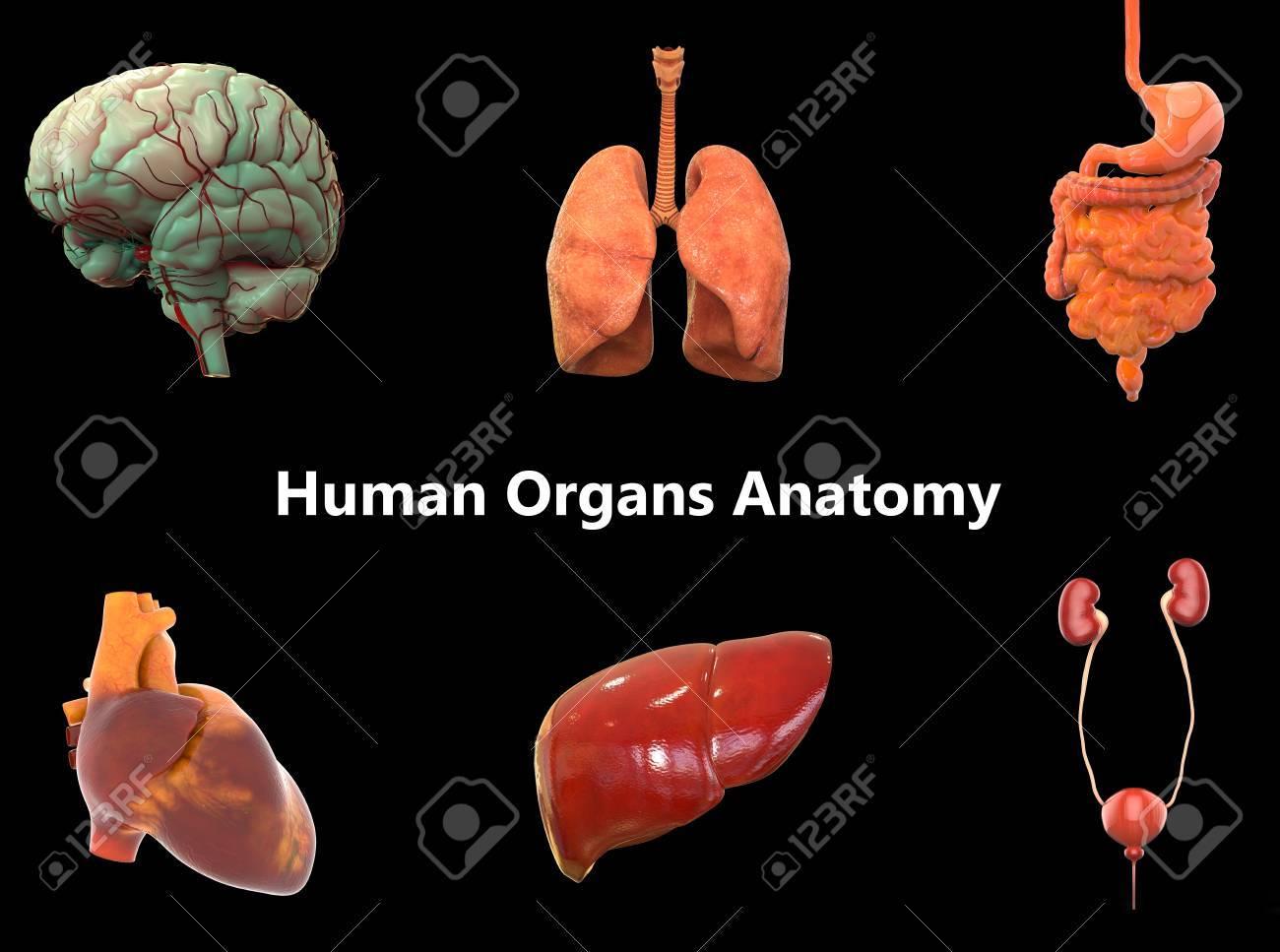 Los órganos Del Cuerpo Humano Anatomía (cerebro, Pulmones, Sistema ...