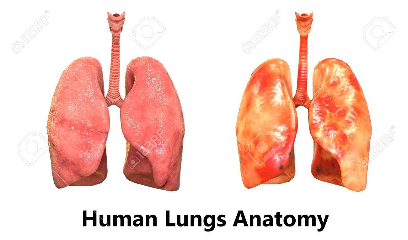 Menschlicher Körper Organe (Lungen-Anatomie) Lizenzfreie Fotos ...