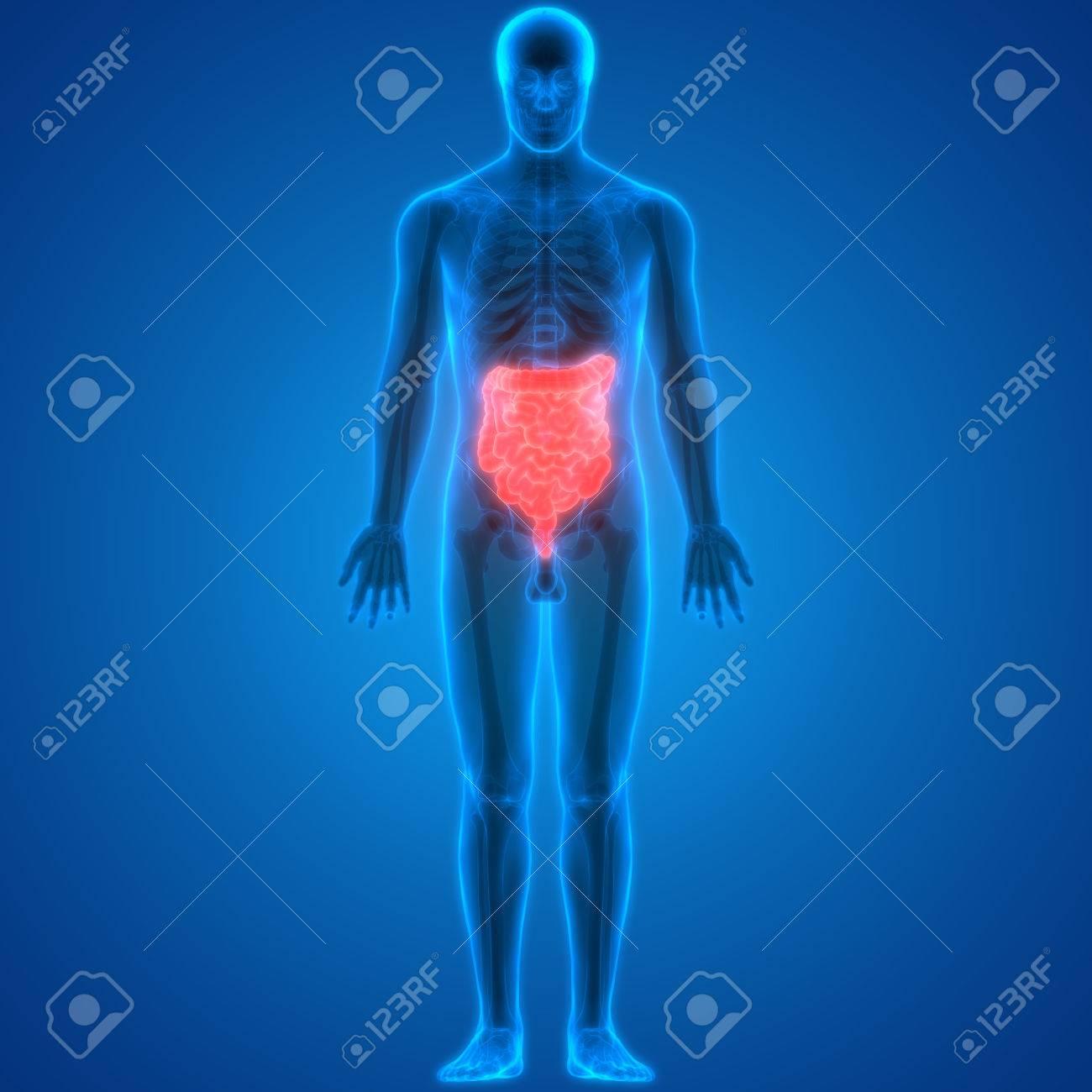 3D-Abbildung Des Menschlichen Körpers Organe (Dick- Und Dünndarm ...