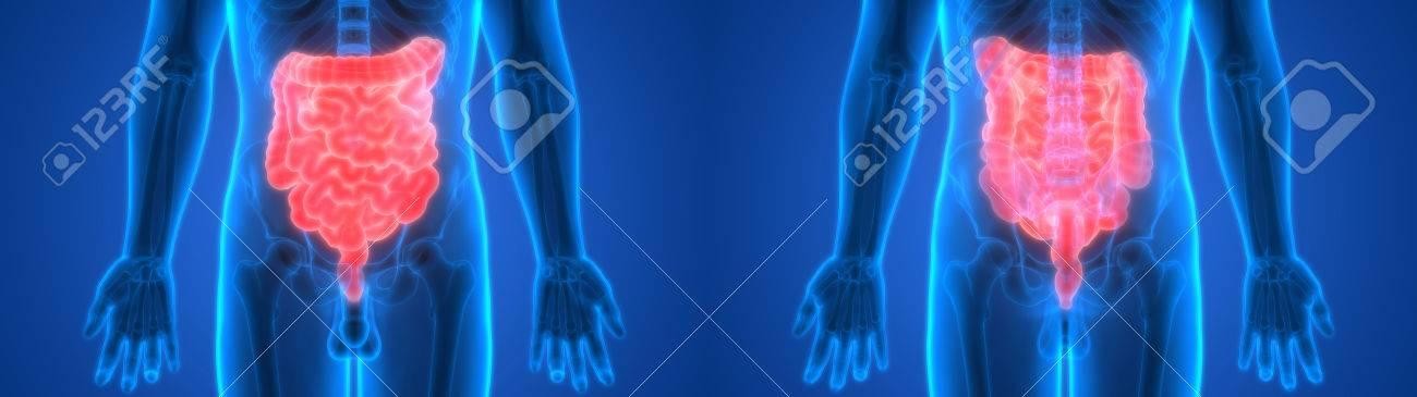 Menschliche Körperorgane (Dick- Und Dünndarm) Anatomie Lizenzfreie ...