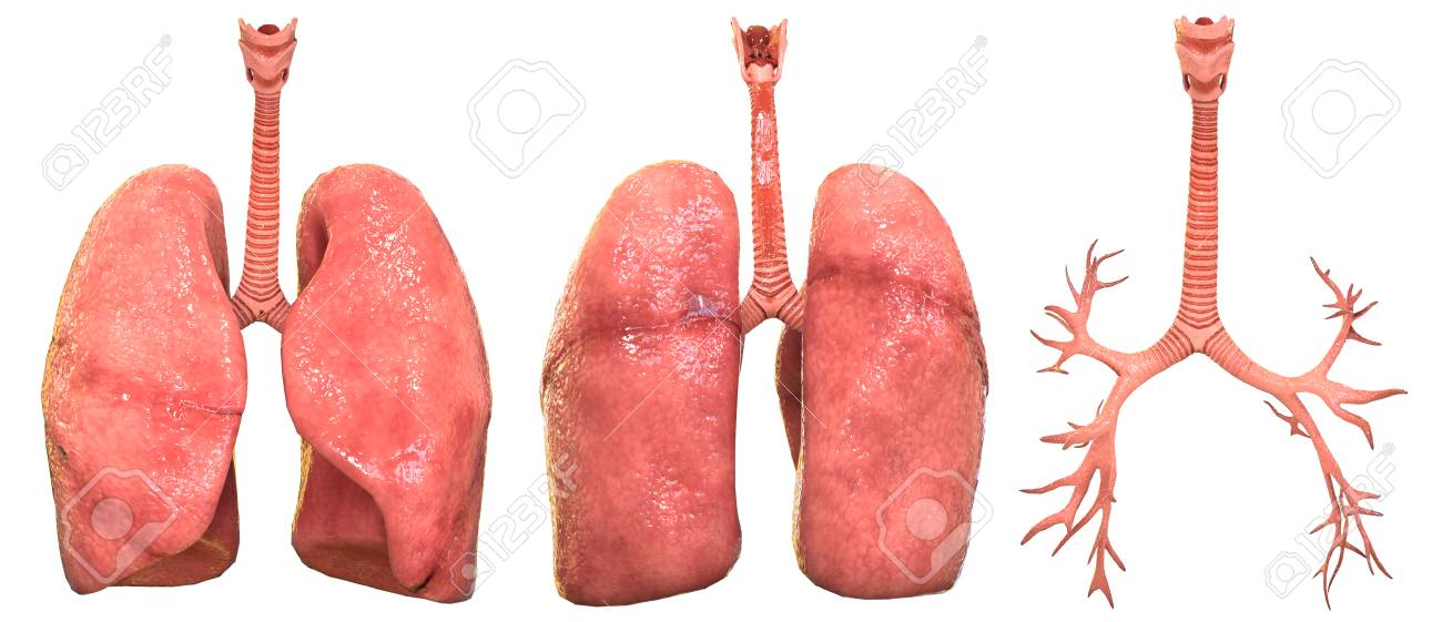 Ungewöhnlich Menschlicher Körper Anatomie Organe Bilder ...