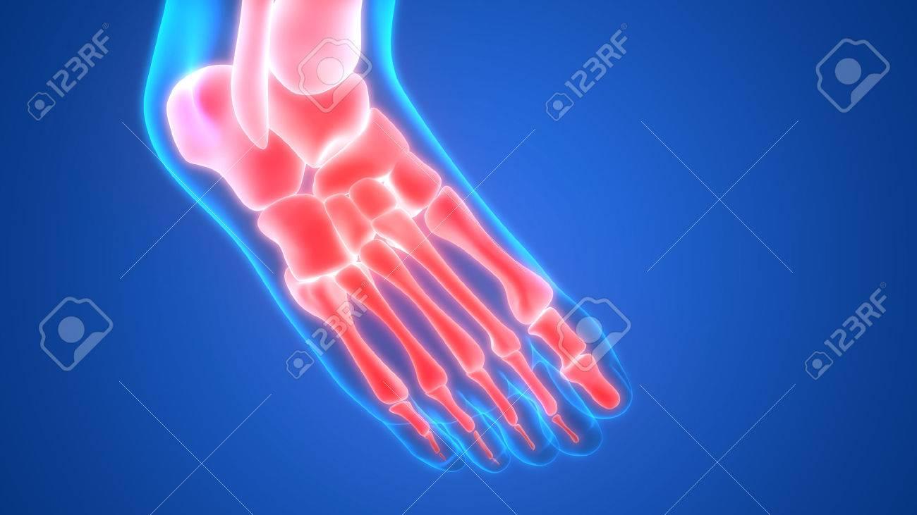 Gemütlich Fuß Menschliche Anatomie Fotos - Physiologie Von ...
