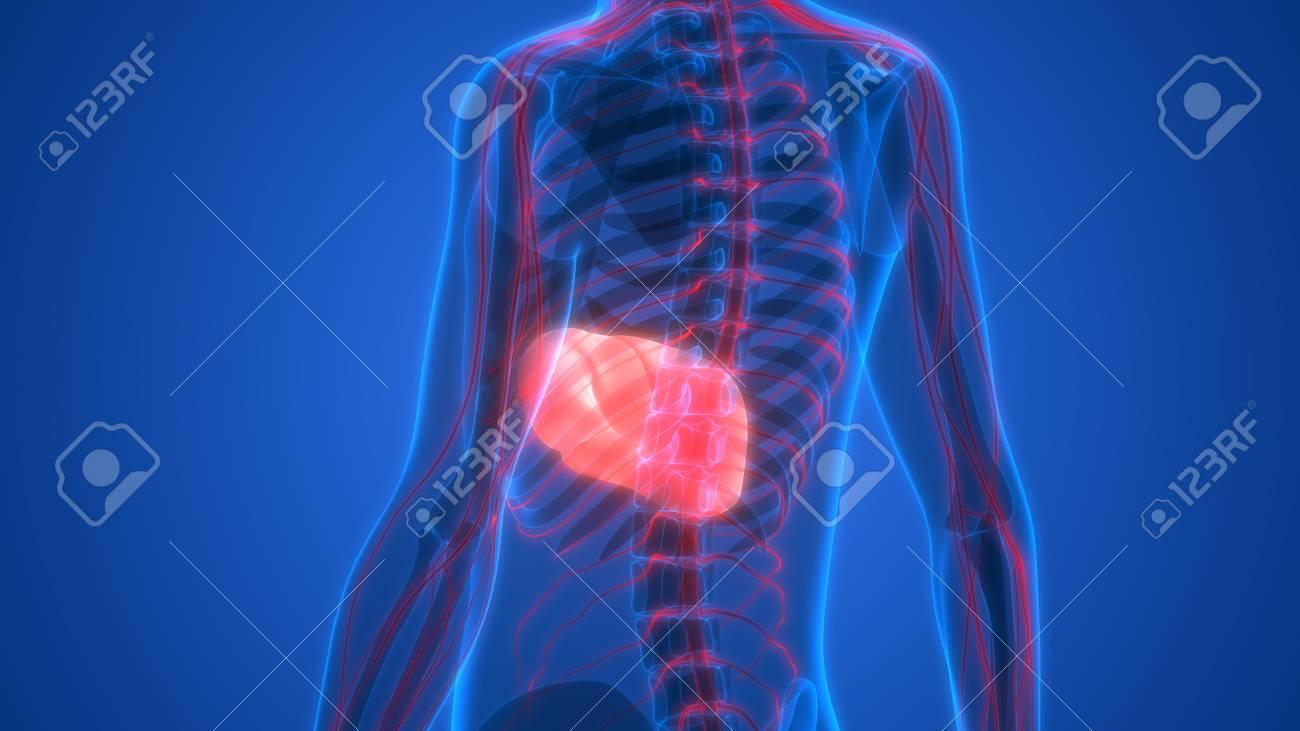 Rganos Del Cuerpo Humano Anatomía (del Hígado) Fotos, Retratos ...