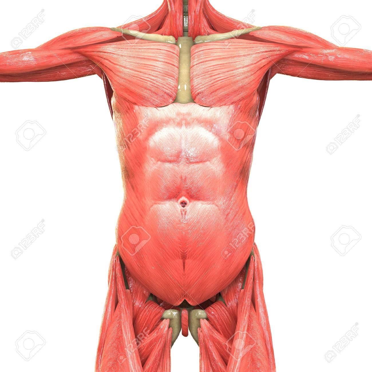 Menschlicher Körper Muskeln Anatomie Lizenzfreie Fotos, Bilder Und ...