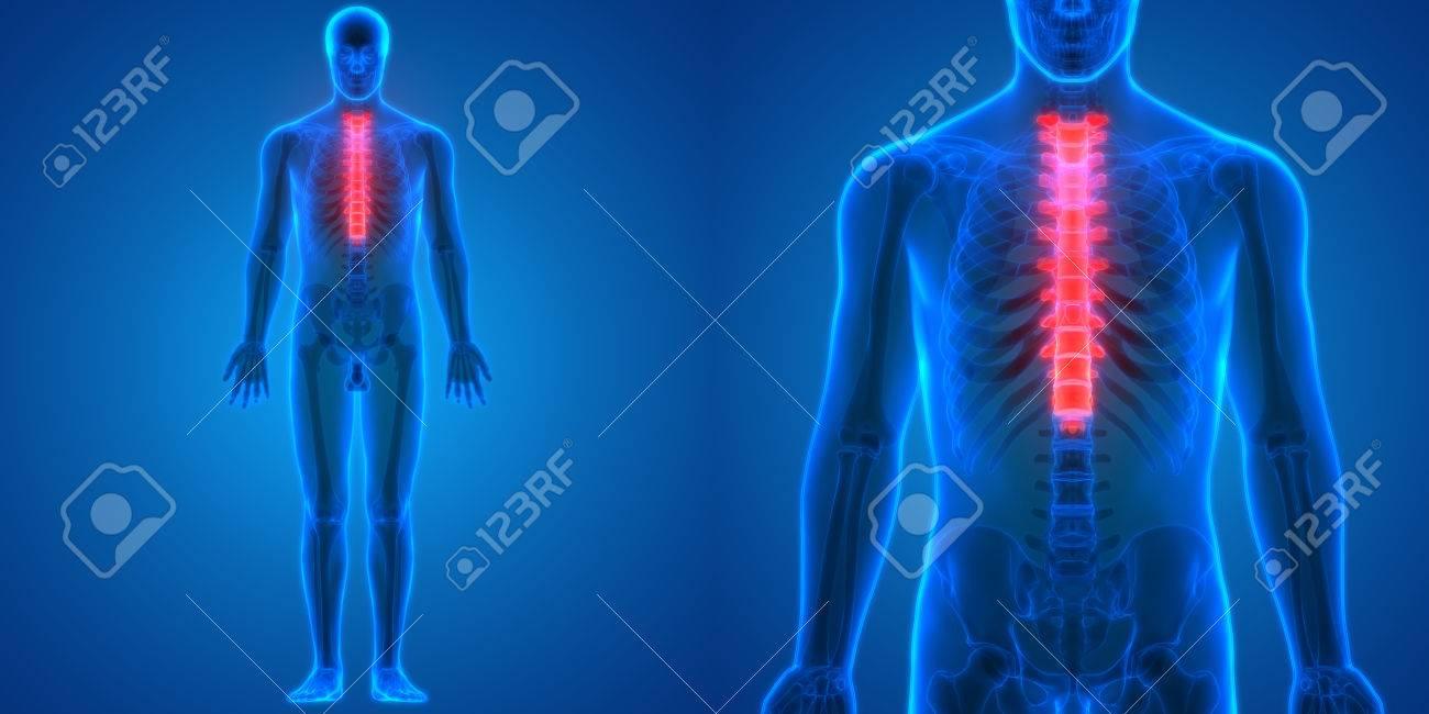 Rückenmark Ein Teil Der Menschlichen Skelett Anatomie (Thoraxwirbel ...