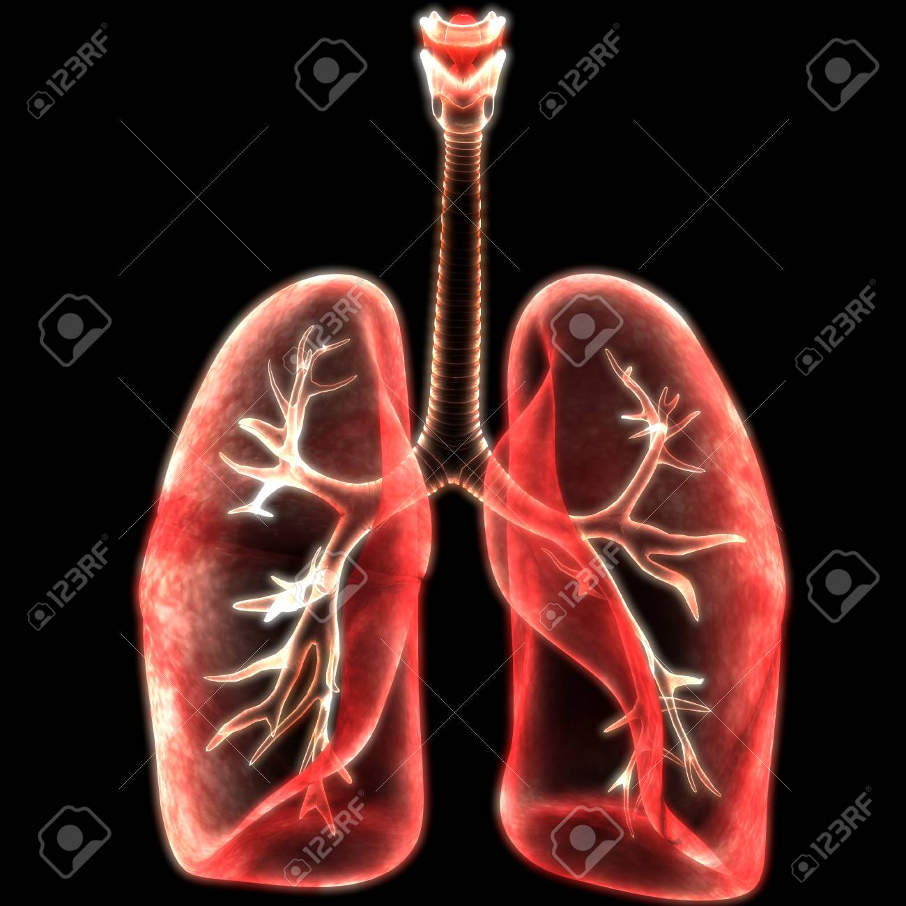 Human Body Organs (Lungs Anatomy) Stock Photo, Picture And Royalty ...