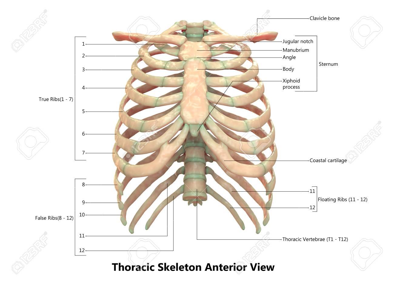 Human Skeleton System Thoracic Skeleton Anatomy Anterior View