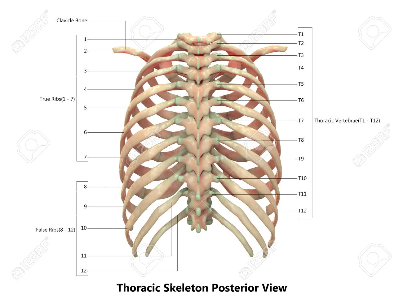 Human Skeleton System Thoracic Skeleton Anatomy (Posterior View ...