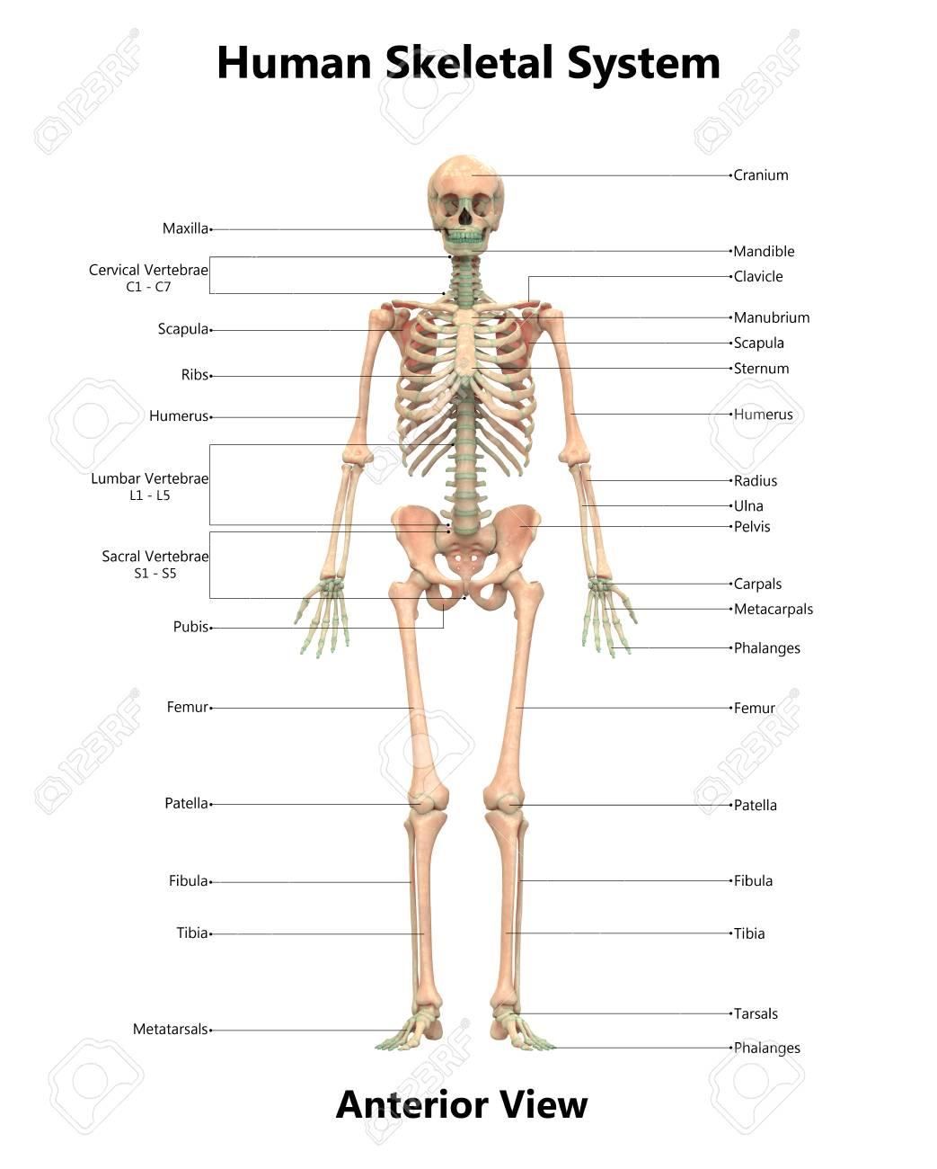 Human Skeleton System Anatomy (Anterior View) Stock Photo, Picture ...