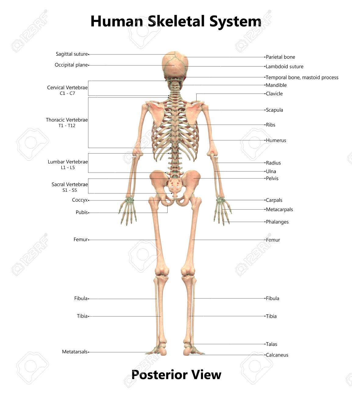 Human Skeleton System Anatomy (Posterior View) Stock Photo, Picture ...