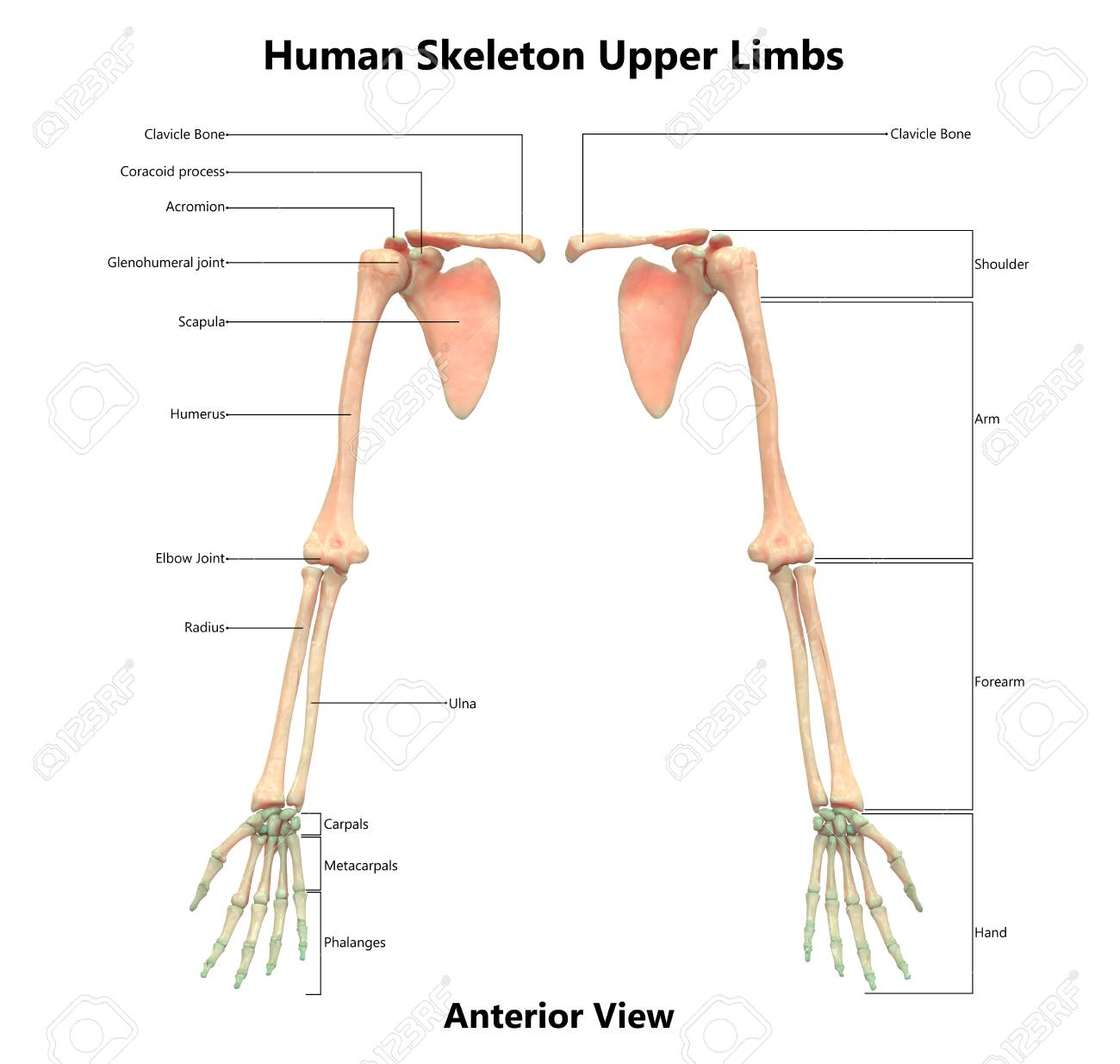 Human Skeleton System Upper Limbs Anatomy Anterior View Stock
