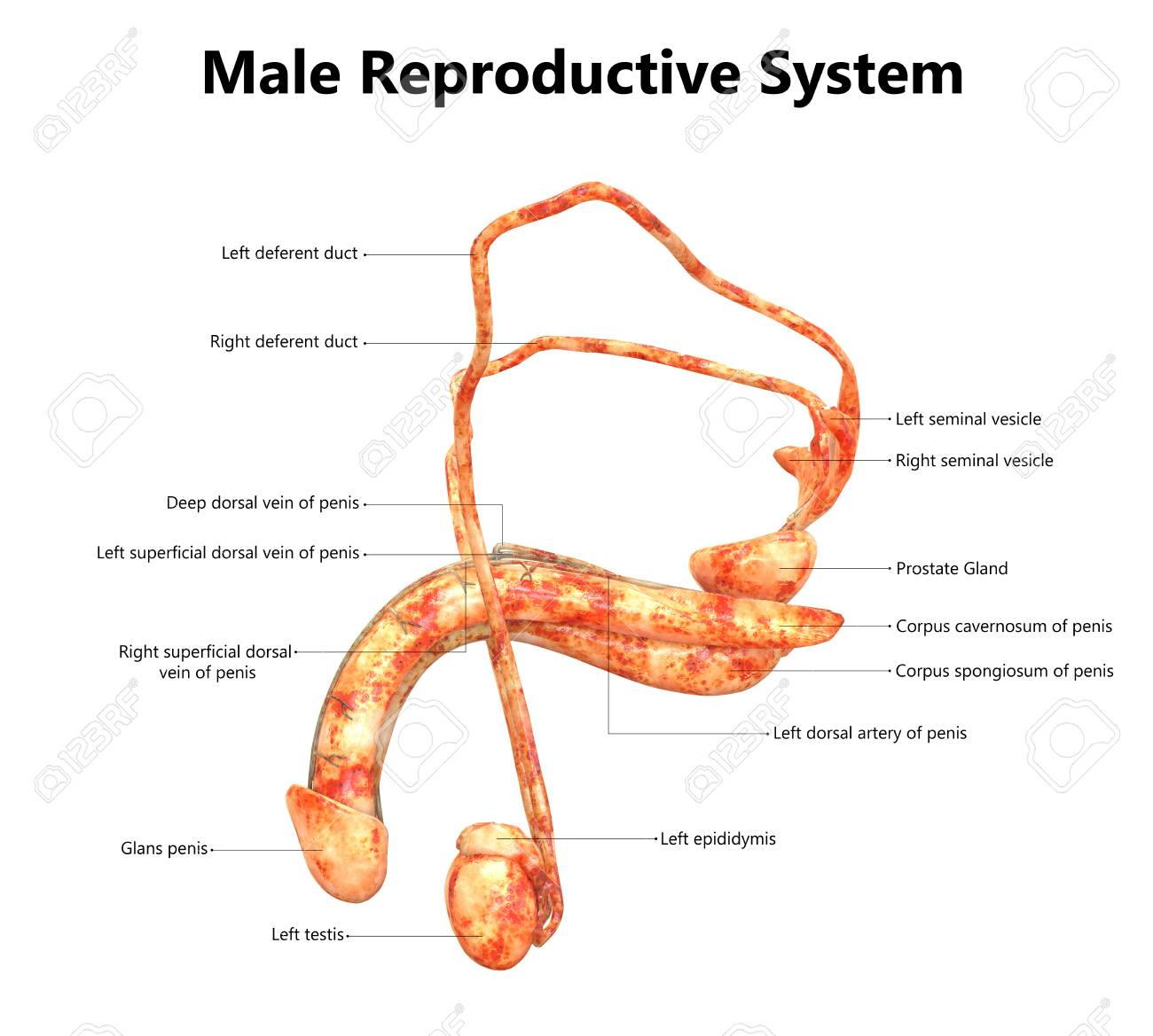 Male Reproductive System With Labels Anatomy Lateral View Stock