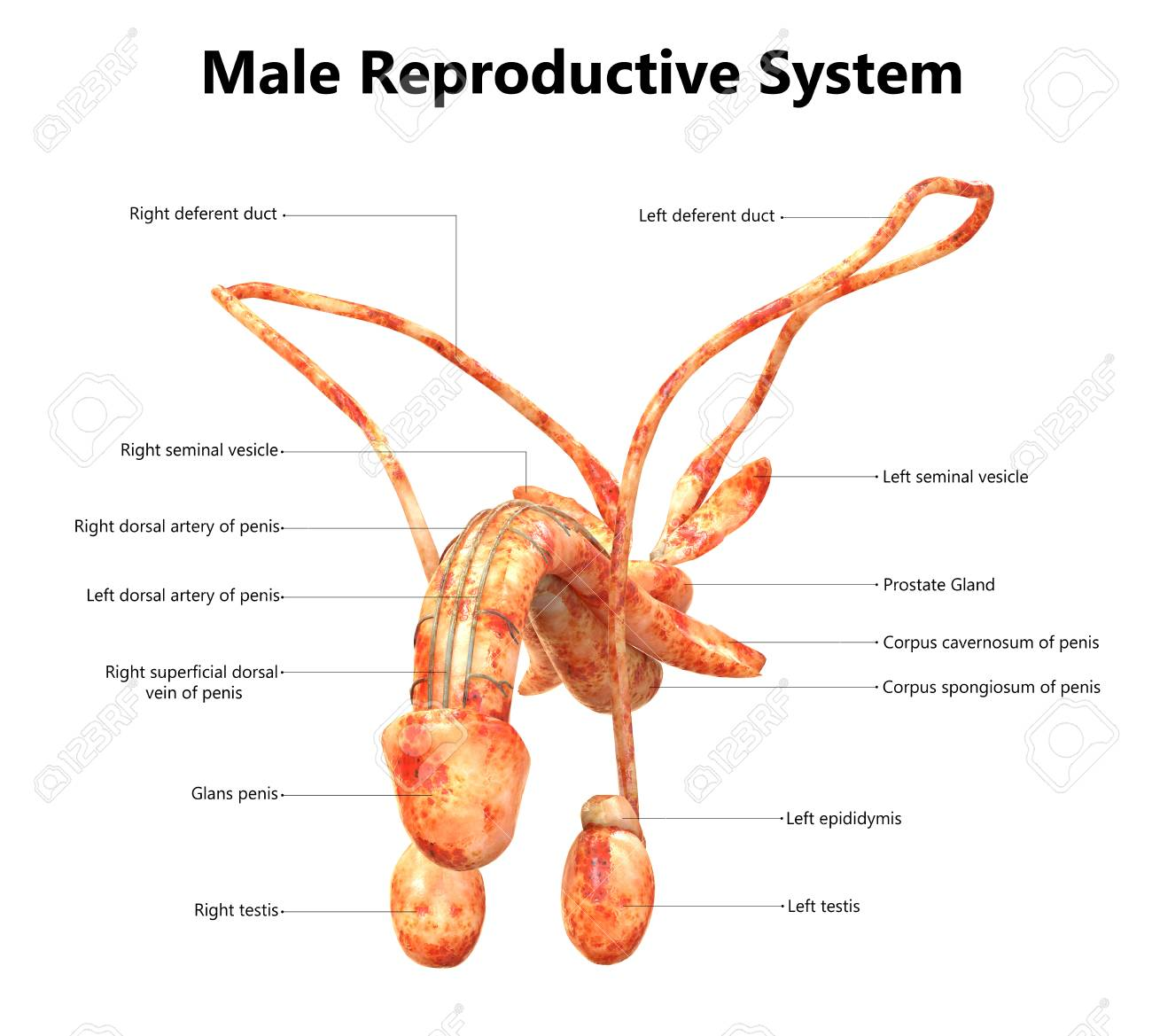 Male Reproductive System With Labels Anatomy Stock Photo Picture