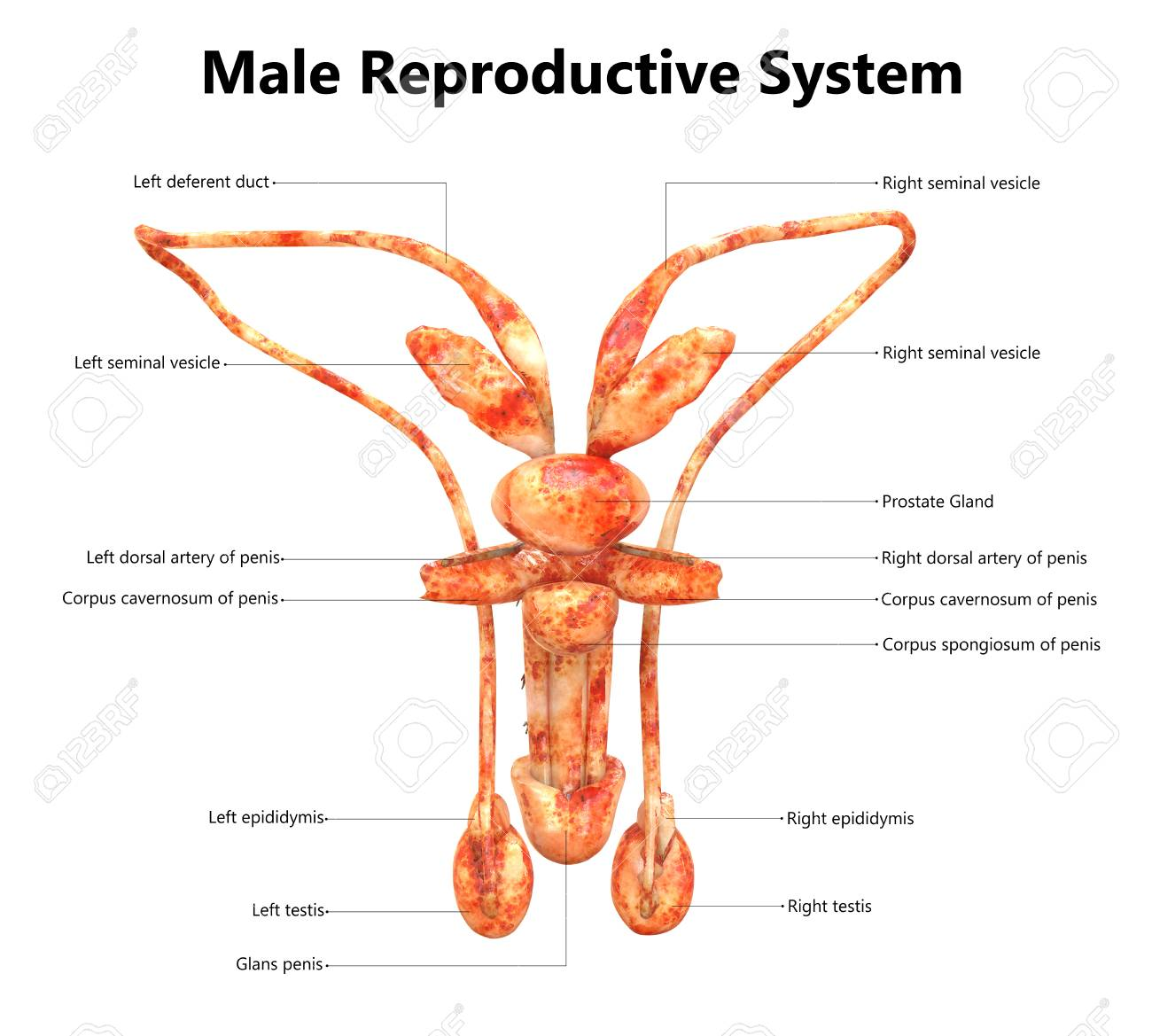 Male Reproductive System With Labels Anatomy (Posterior View) Stock ...