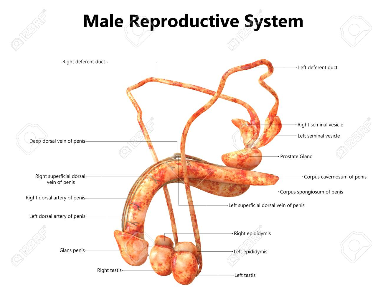 Male Reproductive System With Labels Anatomy Stock Photo, Picture ...