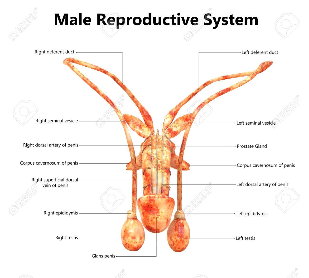 Male Reproductive System With Labels Anatomy (Anterior View) Stock ...
