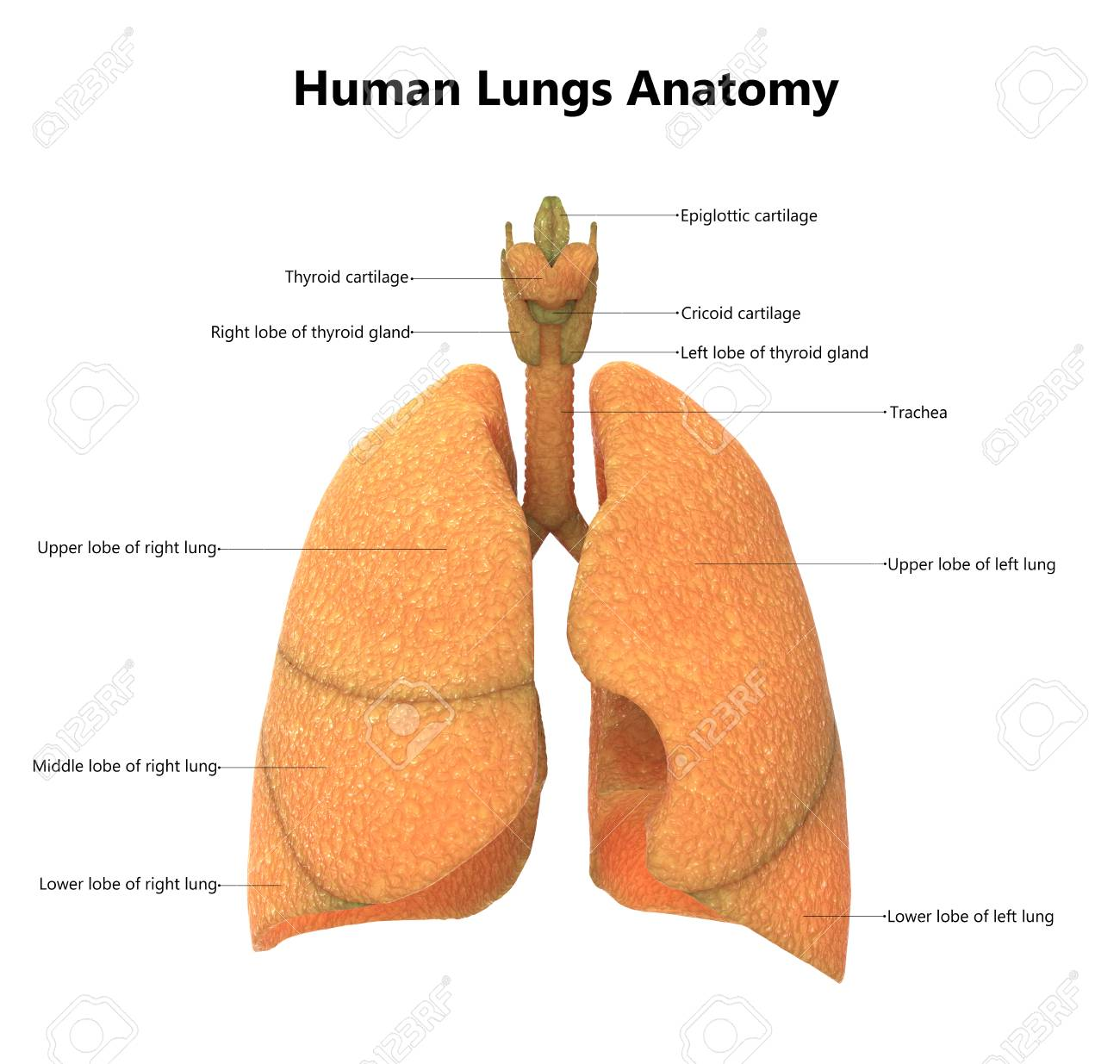 Human Body Organs Lungs With Labels Anatomy Stock Photo Picture