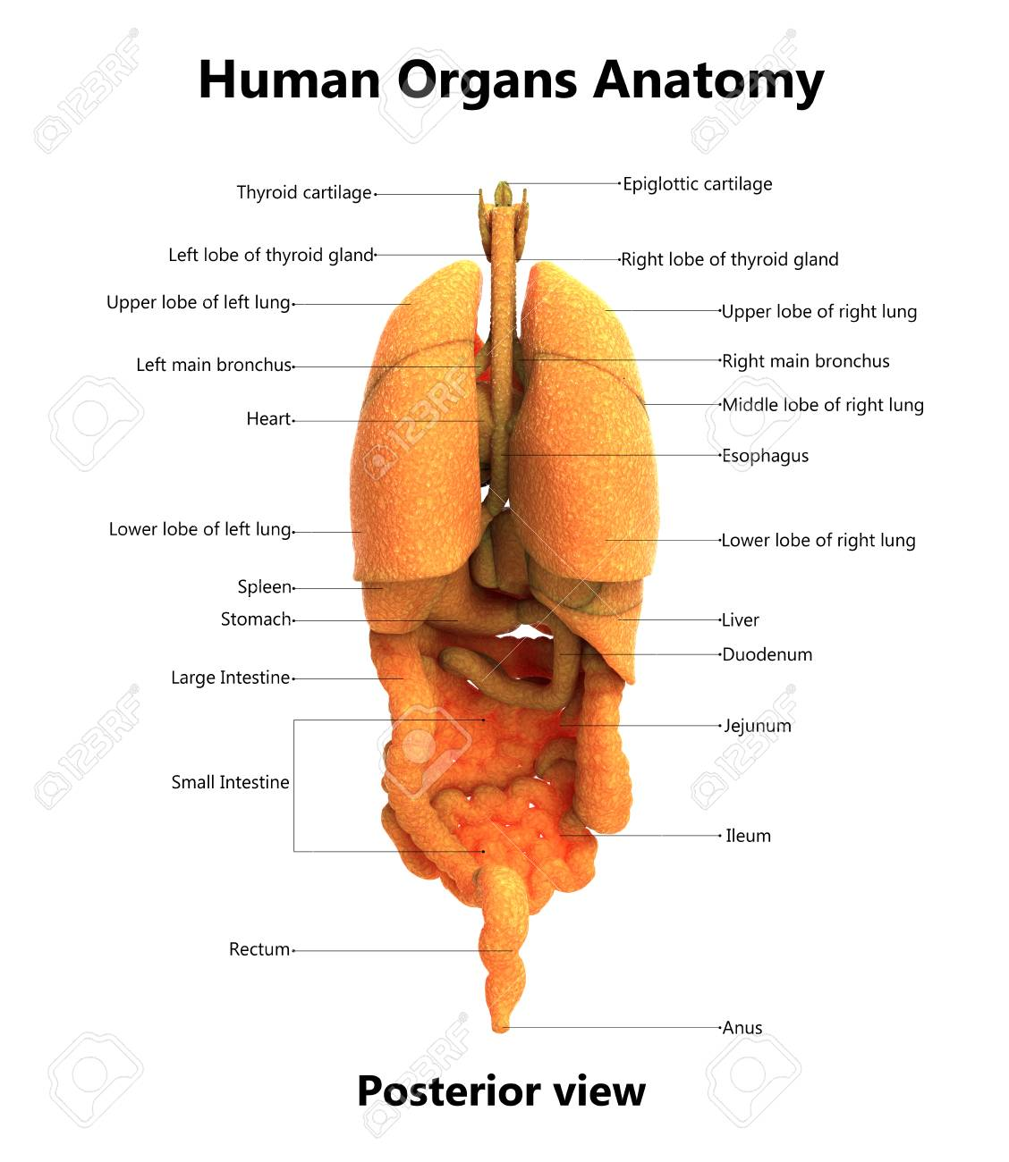 Human Body Organs With Labels Anatomy Posterior View Stock Photo
