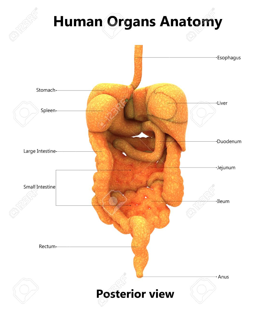 Human Digestive System With Labels Anatomy Posterior View