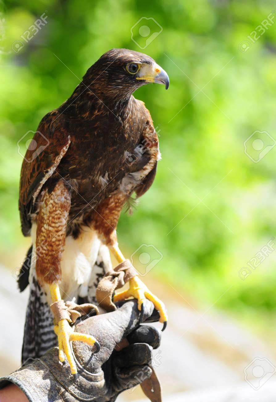 predator bird on hand of owner Stock Photo - 3227660