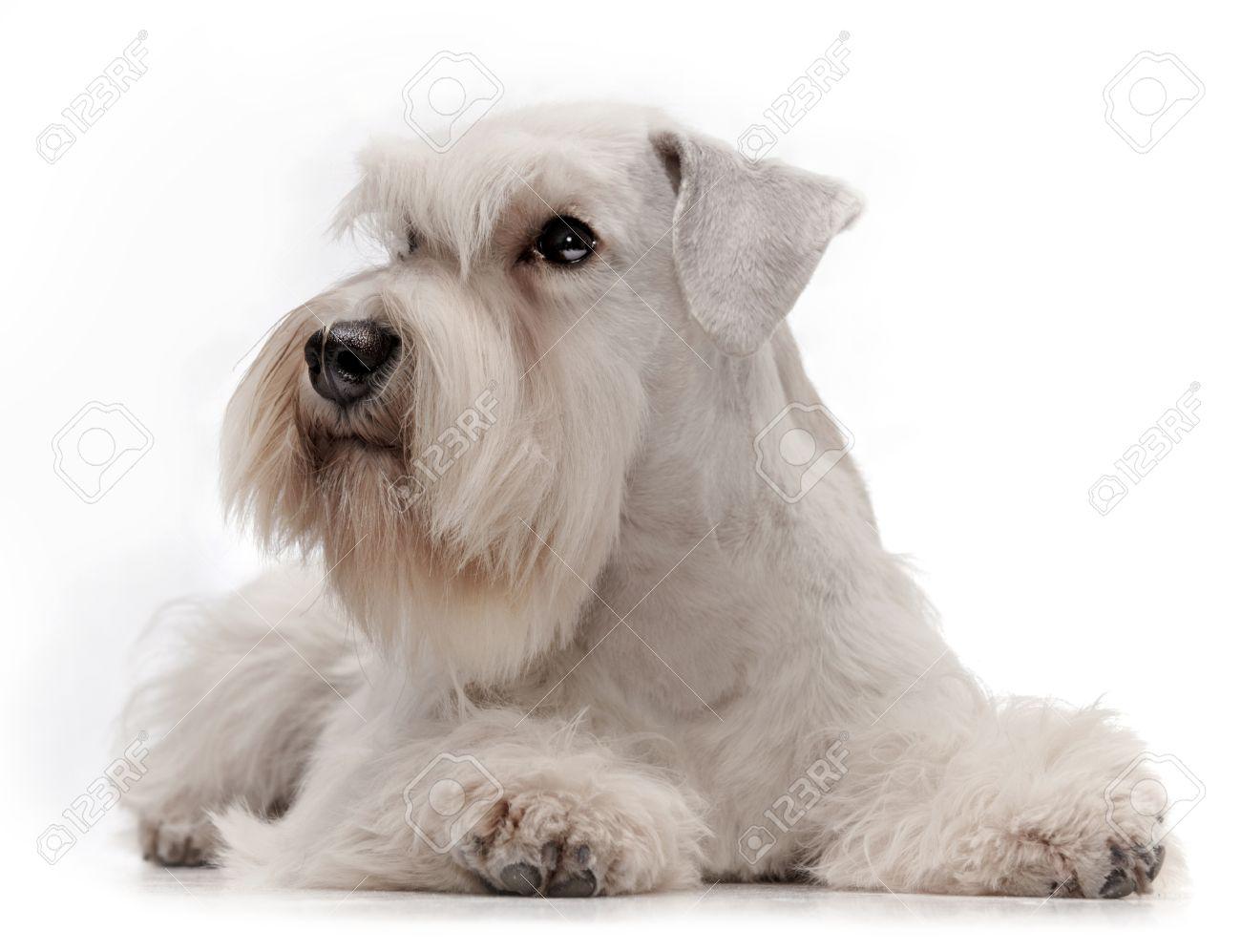 White Miniature Schnauzer white miniature schnauzer