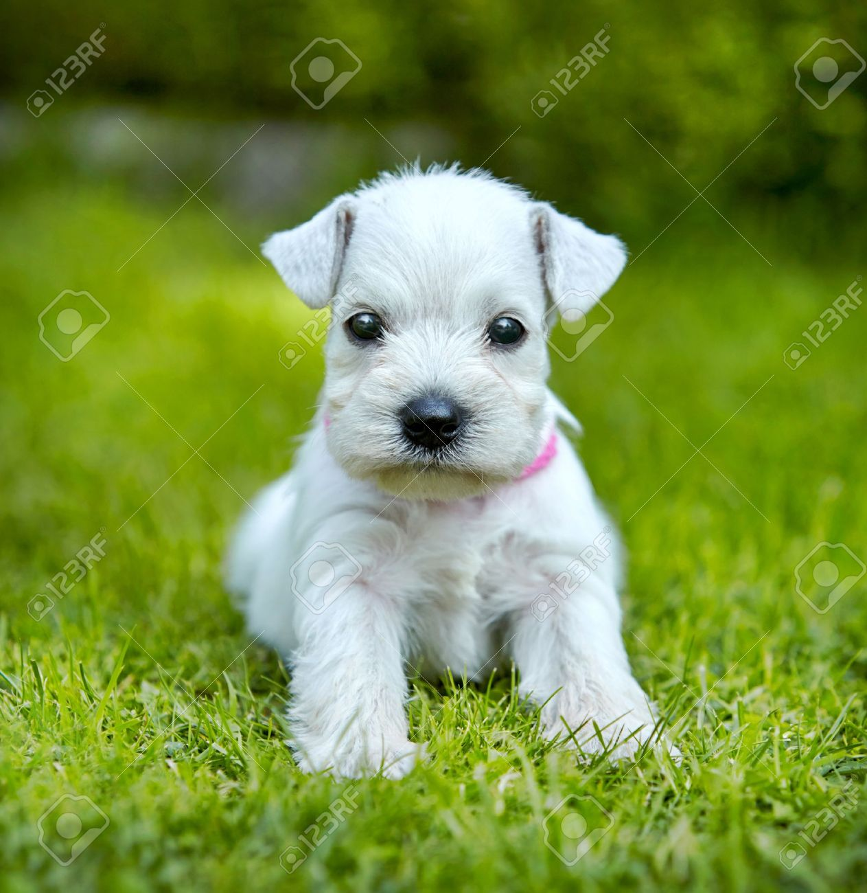 white schnauzer puppy in a green grass Stock Photo - 21377766