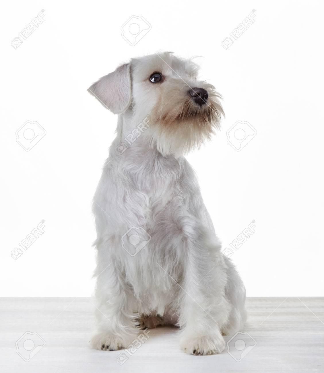 White Miniature Schnauzer Puppy 3 Month Old Stock Photo Picture And Royalty Free Image Image 22623458