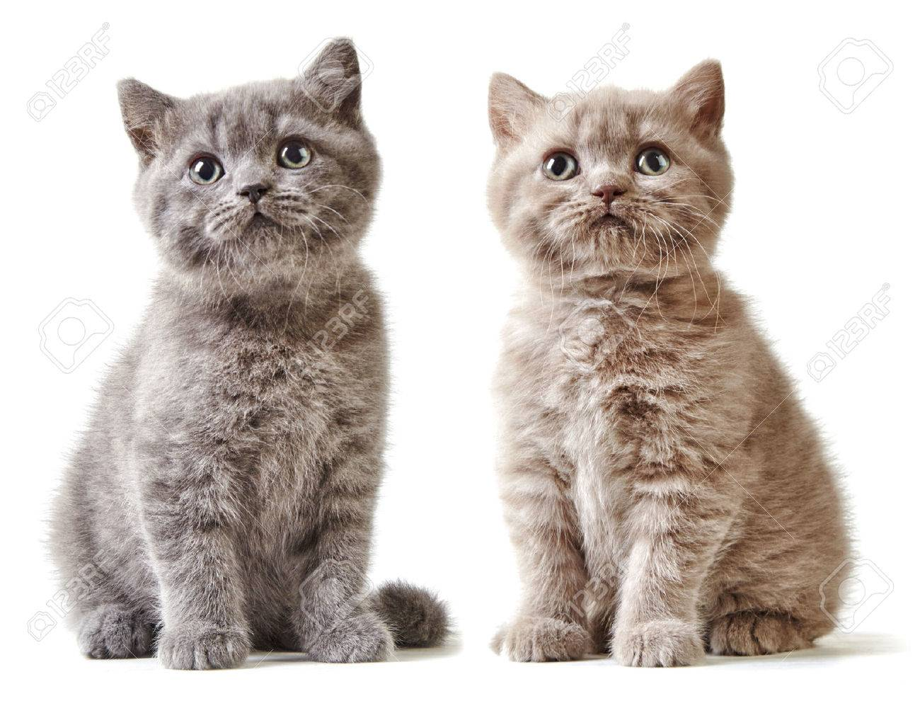 Two British Short Hair Kittens Isolated White Background Stock