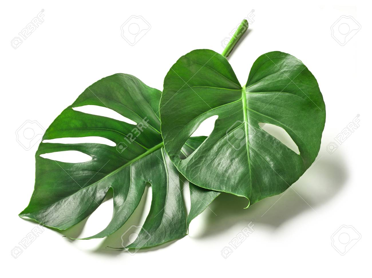 Tropical Leaves Of Monstera Plant Isolated On White Background Stock Photo Picture And Royalty Free Image Image 89191891 Tropical leaves background with white banner. tropical leaves of monstera plant isolated on white background