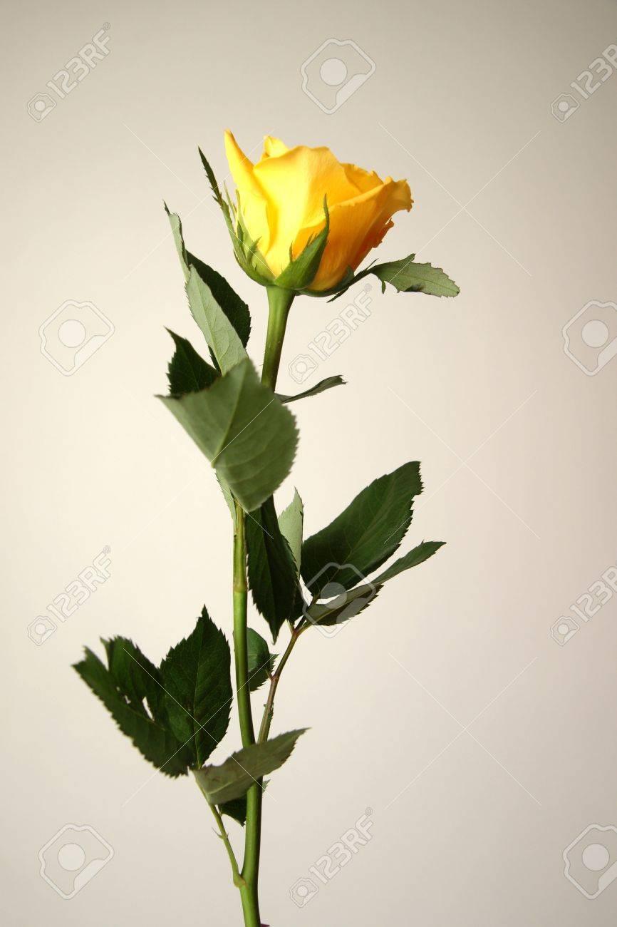 fleur, rose, les épines, les tiges, les feuilles, les fleurs