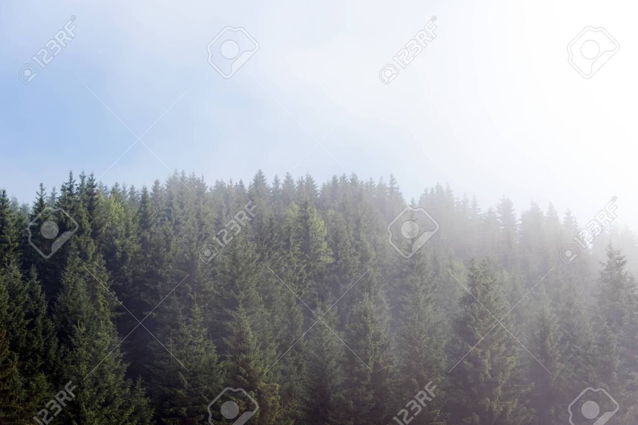 Misty fog in pine forest on mountain slopes in the Carpathian mountains. Landscape with beautiful fog in forest on hill - 131216309