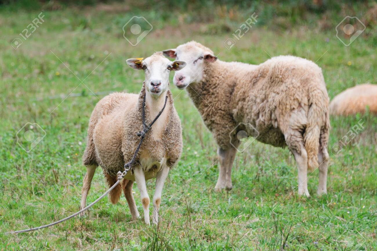 Sheep group and lamb on a meadow with green grass. Flock of sheep. Rural life concept. Sheep are grazing in the nature - 134403379
