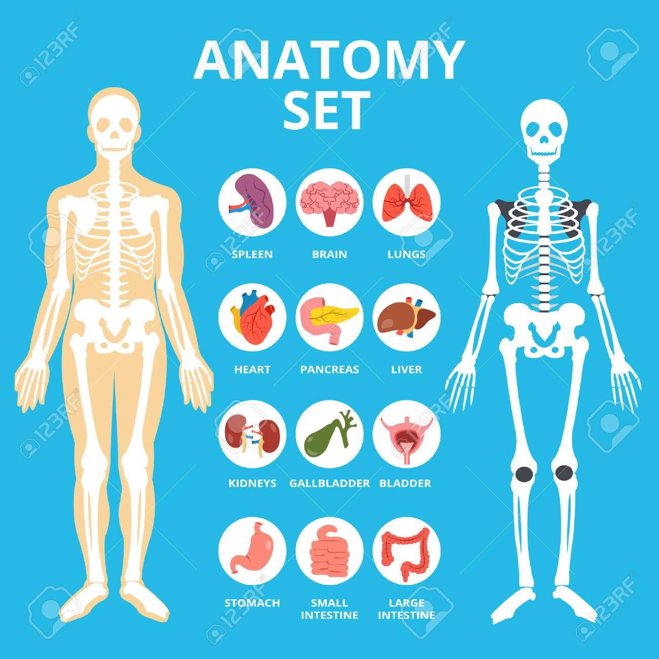Anatomie-Set, Anatomie Infografiken. Menschliche Innere Organe Icons ...
