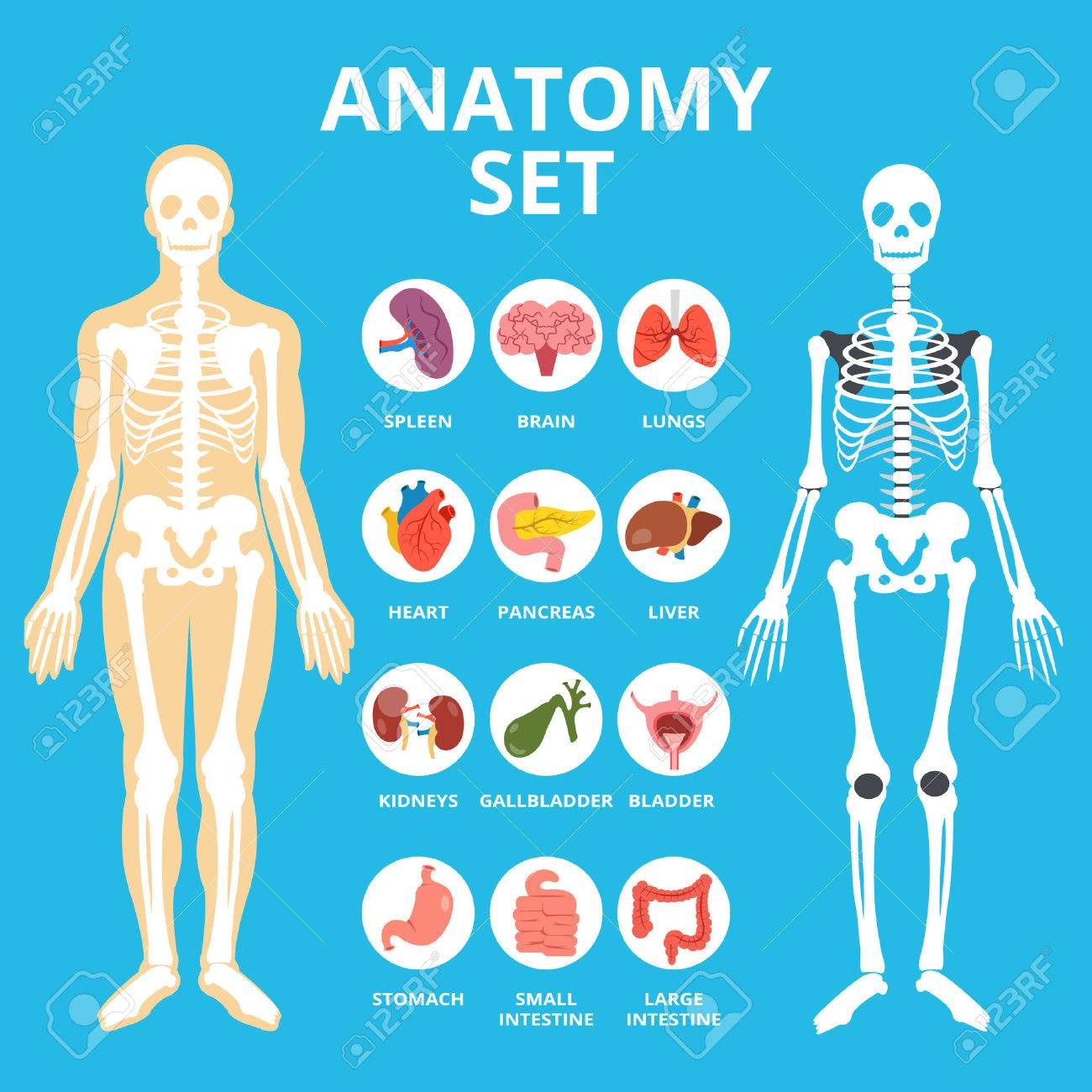Anatomy Set, Anatomy Infographics. Human Internal Organs Icons ...