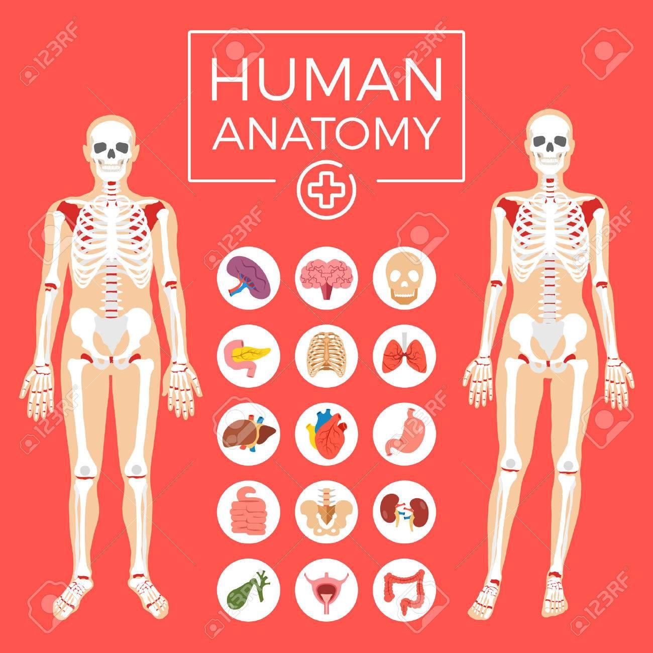 Menschliche Anatomie. Mann Und Frau, Körper, Skelettsystem, Innere ...