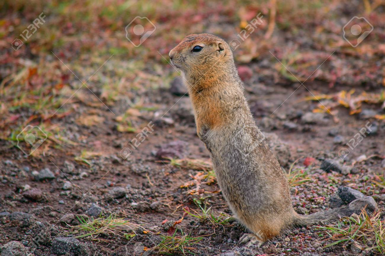 Evrazhka on Kamchatka  Rodent, American long tail gopher, sunny